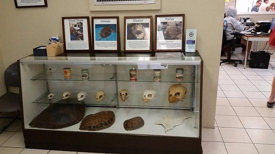 Marathon Shores, Flórida: display of different turtles