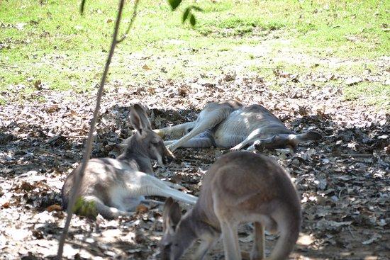 Litchfield Park, AZ: kangaroo's