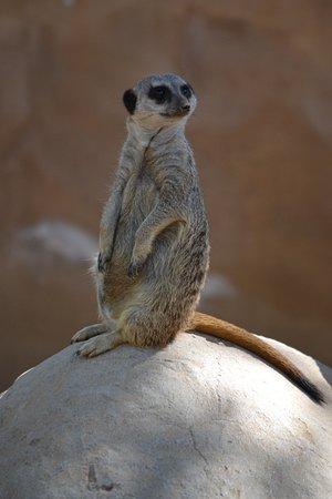 Litchfield Park, AZ: meerkat