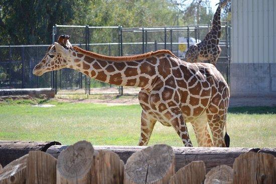 Litchfield Park, AZ: giraffe