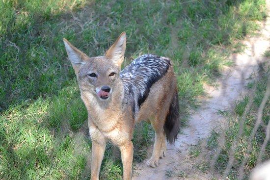 Litchfield Park, AZ: fox