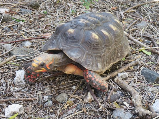 Laborie, St. Lucia: Don't forget to visit the tortoises