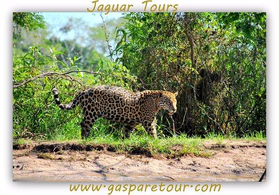 pantanal jaguar tour by gasparetour cuiabagasparetour pantanal tours tripadvisor. Black Bedroom Furniture Sets. Home Design Ideas
