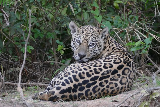 pantanal jaguar tour by gasparetour bild von gasparetour pantanal tours cuiaba tripadvisor. Black Bedroom Furniture Sets. Home Design Ideas