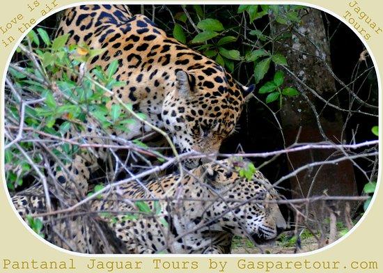 pantanal jaguar tour by gasparetour picture of gasparetour pantanal tours cuiaba tripadvisor. Black Bedroom Furniture Sets. Home Design Ideas