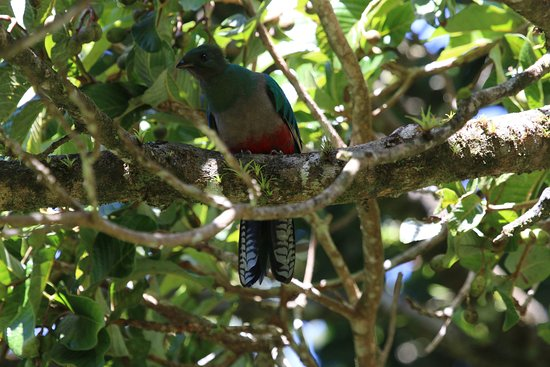 Guides of Monteverde: female quetzal