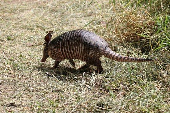 Guides of Monteverde: nine banded armadillo
