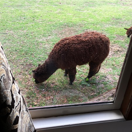 Codrington, Australia: An Alpaca grazing outside out window.