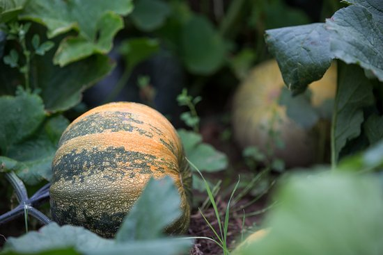 how to grow pumpkins from seeds in australia