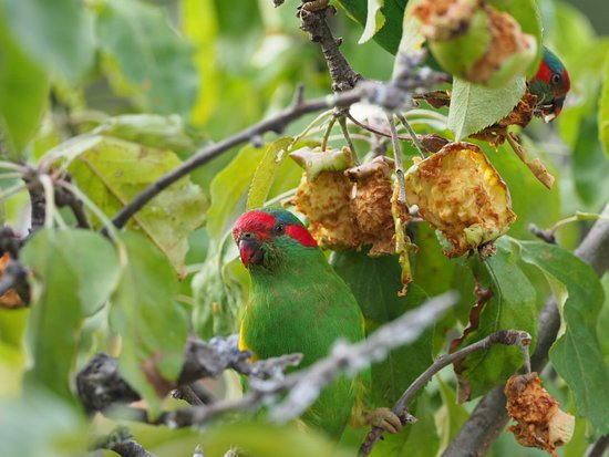 Orford, Australia: The musk lorikeets loved Greg's apples!