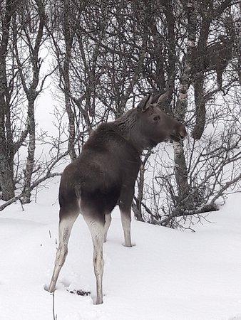 Risoyhamn, Noruega: Moose safari