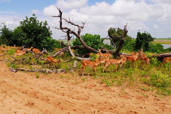 Kasane, Botswana: インパラの群れ