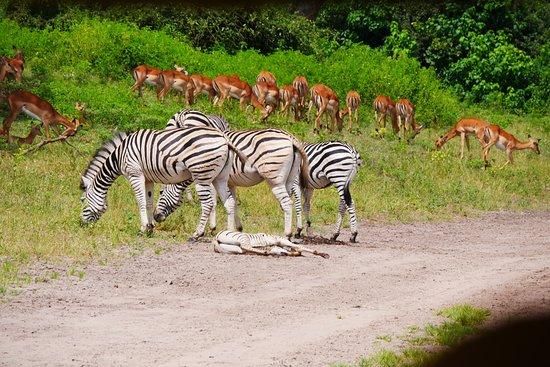 Kasane, Botswana: シマウマとインパラ