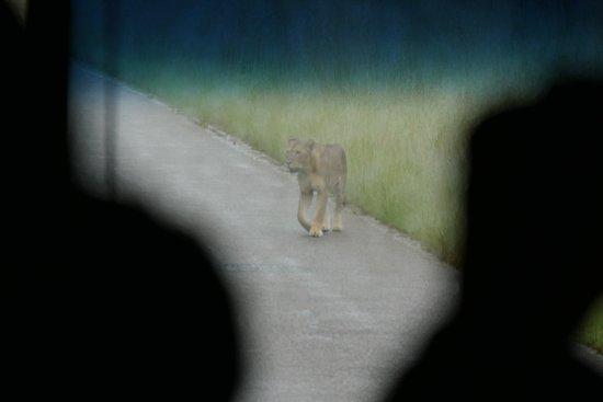 Kasane, Botswana: フツーの道路上に出てきたライオン