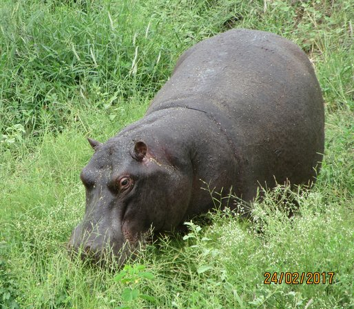 Lower Sabie Restcamp: Hippo
