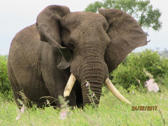 Lower Sabie Restcamp: Elephant