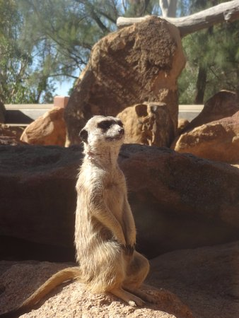 Dubbo, Austrália: Marvelous meerkat