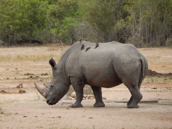 Hazyview, Sudáfrica: White Rhino in Kruger National Park