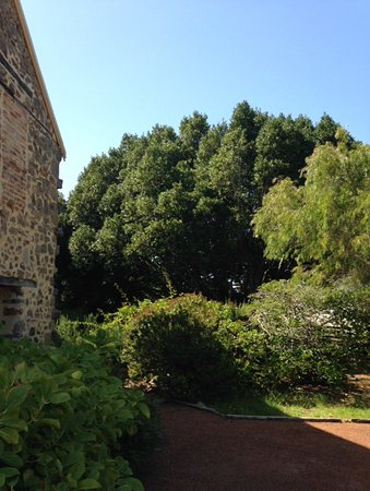 Albany, Australia: The oldest Bay Tree