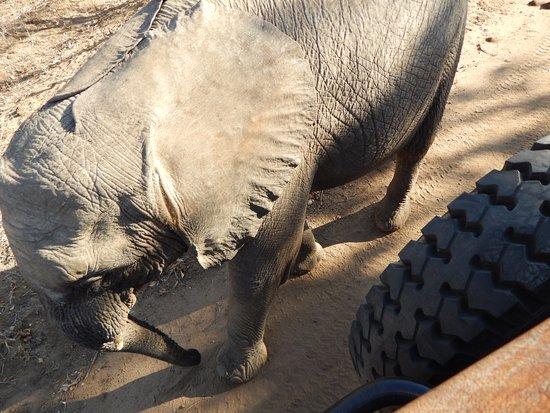 Hazyview, South Africa: Baby Elephant Says Hello!