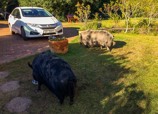 Fynbos Ridge Country House & Cottages: The resident pet pigs.