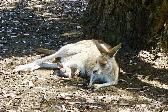 Taranna, Australia: Red Kangaroo mom and her Joey chillaxing