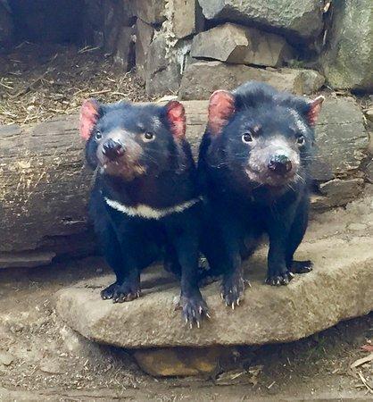 Taranna, Australia: A pair of cute little devils