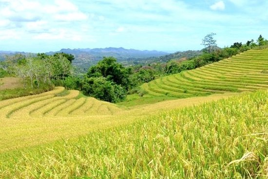 Candijay, Φιλιππίνες: the terraces of rice ready to harvest