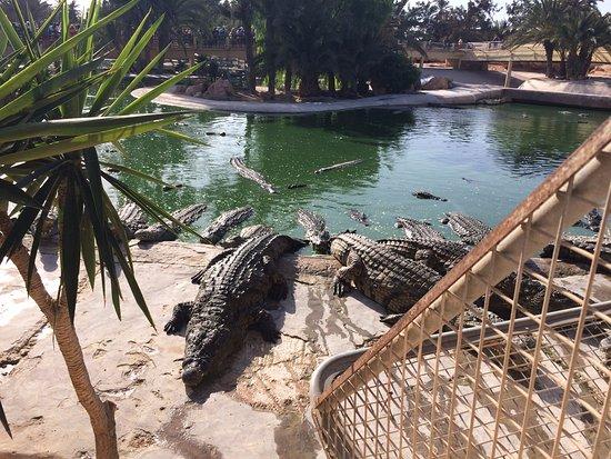 Krokodilfarm Animalia: кормёжка