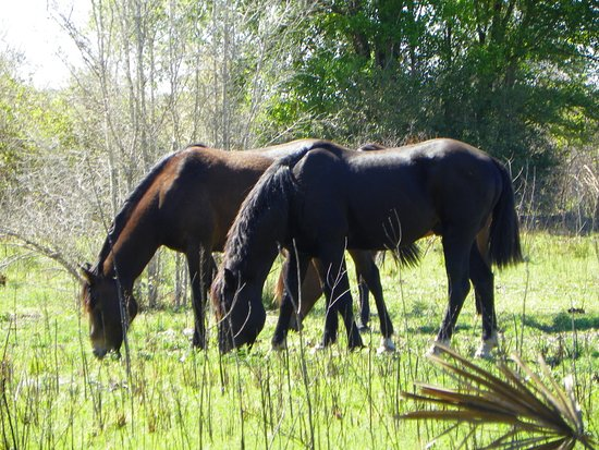 Micanopy, Floryda: Wild Horses
