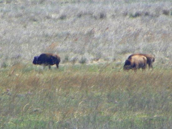 Micanopy, FL: Bison