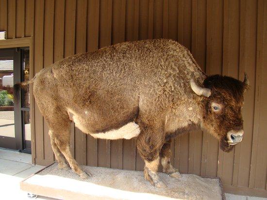 Wall, South Dakota: Stuffed Buffalo