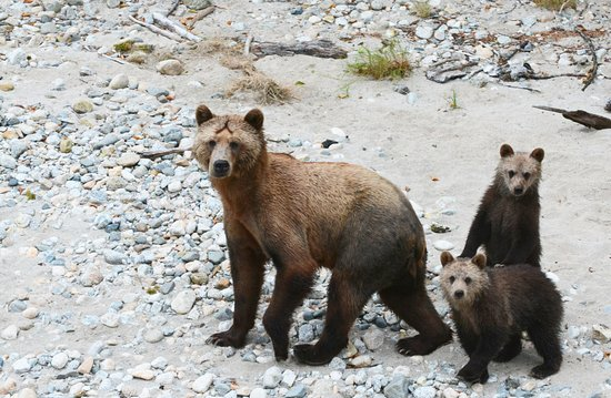 Glendale Cove, Canada: grizzly sow with cubs, Brian Collen photo