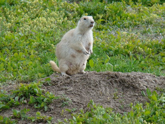 Philip, SD: White Prairie Dog Town