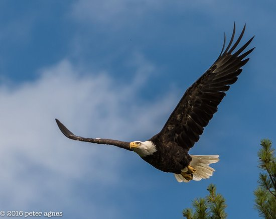 Oakland, ME: North American Bald Eagle Takes flight and photographer Peter Agnes captured this shot
