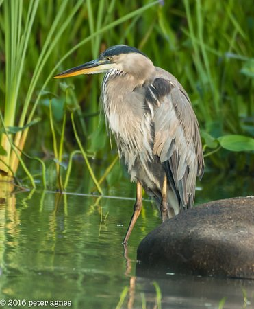 Oakland, ME: Great Blue Heron captured by Photographer Peter Agnes
