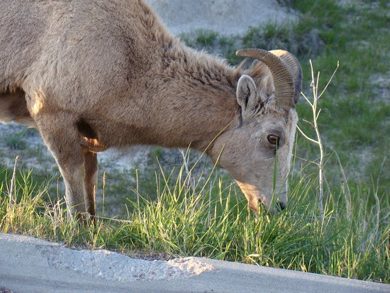 Interior, SD: Up close and personal with a Bighorn Ewe