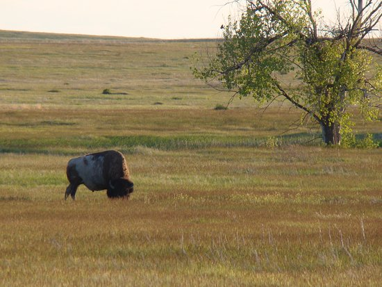 Interior, SD: A buffalo in the Buffalo Gap National Grasslands