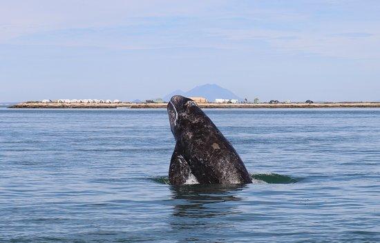 Ecoturismo Kuyima S.P.R. de R.L.: Half breach by whale