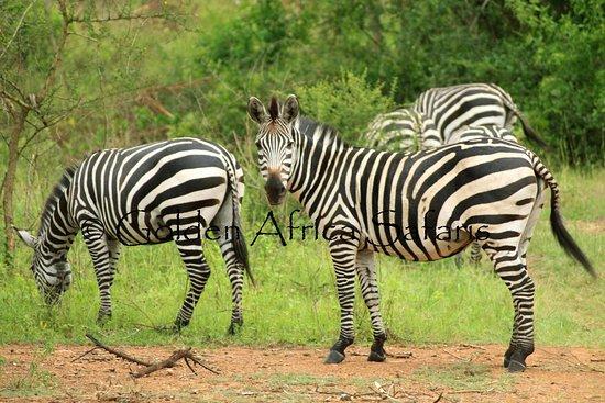Mbarara, Uganda: zebras