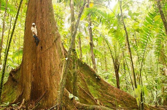 Bahia Solano, Colombia: Visita esta hermosa Ceiba Pentandra en el Jardín Botánico del Pacifico
