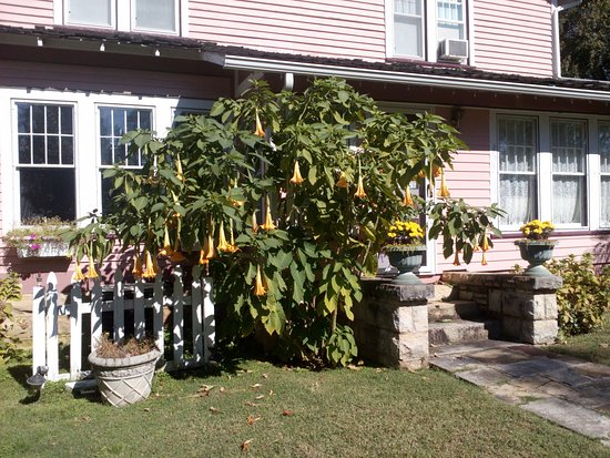The Inn at Mountain View: Our Angel Trumpet