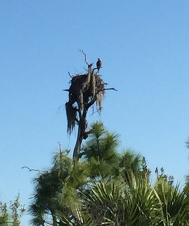 Honeymoon Island State Park: Nice nature walk with sittings of Ospreys. At the end of the Osprey trail and a safe 350 feet be