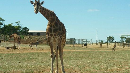 South Australia, Australien: giraffe