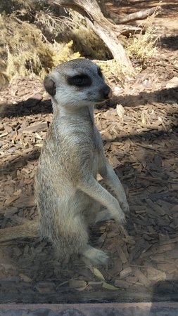 South Australia, Australien: meerkat