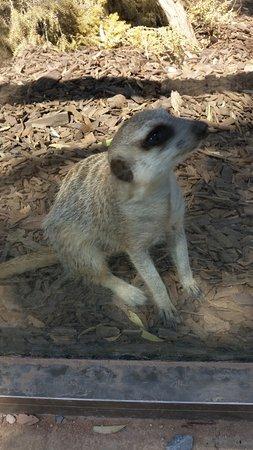 Australia Meridional, Australia: meerkat
