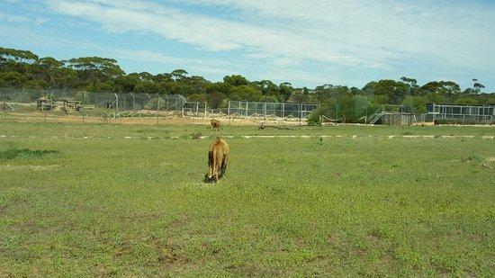 Australia Meridional, Australia: lion