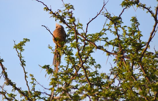 Greater Addo, South Africa: Mousebird