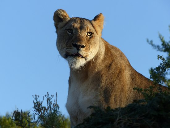 Amakhala Game Reserve, South Africa: This lioness was only 5 or 6m from our jeep.