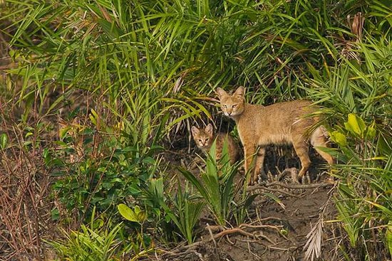 Sundarban, Ινδία: wild cat